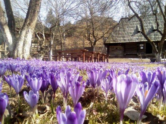 У Колочаві масово квітнуть шафрани (ФОТО)