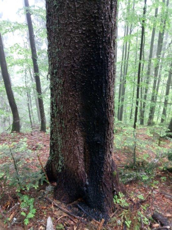 У НПП «Синевир» екологи виявили масові порушення і підпали смерек