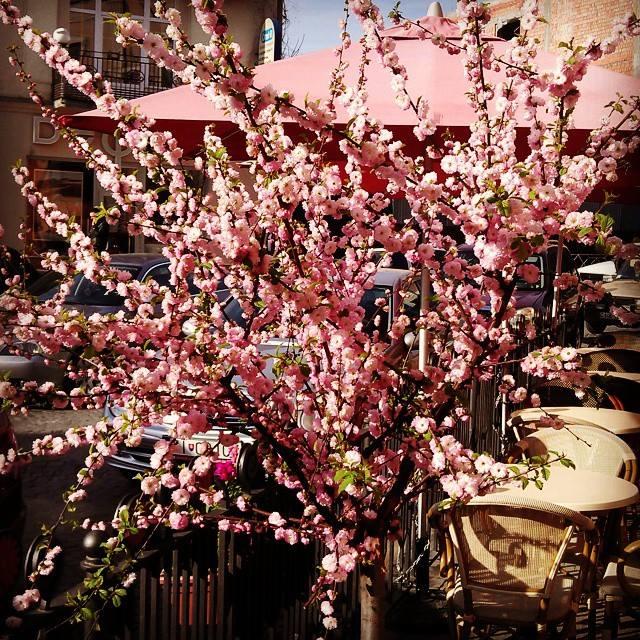 В ужгороді цвіте мигдаль фото