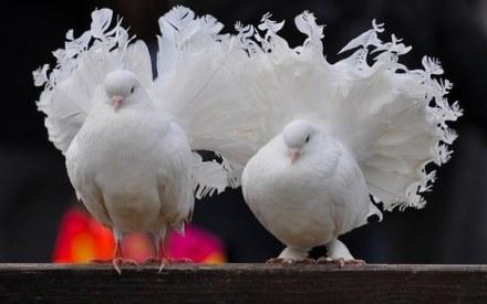 """Результат пошуку зображень за запитом """"Виставку голубів"""""""